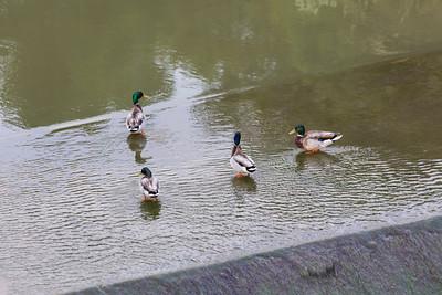 Mallard Ducks (Anas platyrhynchos). Arroyo Del Valle Trail - Pleasanton, CA, USA