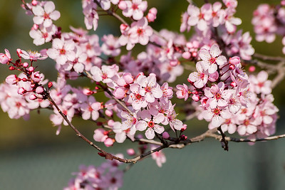 Cherry Blossoms. Pleasanton Tennis & Community Park - Pleasanton, CA, USA