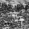 Mushrooms. Hansen Drive - Pleasanton, CA, USA