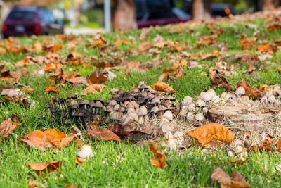 Mushrooms & Autumn Foliage. Hansen Park - Pleasanton, CA, USA