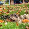 Mushrooms & Autumn Foliage. Hansen Park - Pleasanton, CA, USA