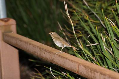 American Pipit (Anthus rubescens). Arroyo Del Valle Trail - Pleasanton, CA, USA