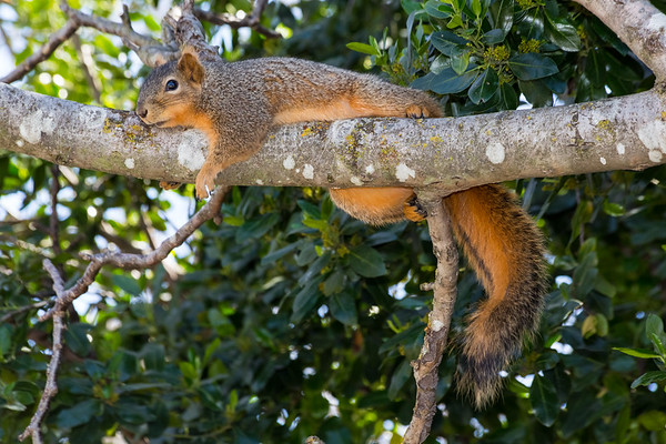 Squirrel napping in a tree. Arroyo Del Valle Trail - Pleasanton, CA, USA