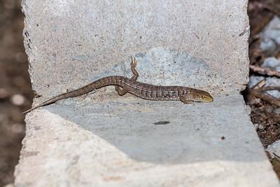 Southern Alligator Lizard (Elgaria multicarinata). Arroyo Del Valle Trail - Pleasanton, CA, USA