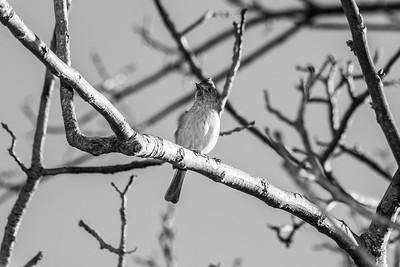 Oak Titmouse (Baeolophus inornatus). Arroyo Del Valle Trail - Pleasanton, CA, USA