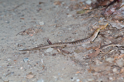 Southern Alligator Lizard (Elgaria multicarinata). Arroyo Del Valle Trail - Pleasanton, CA, USA