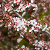 Peach Tree Blossoms. Arroyo Del Valle Trail - Pleasanton, CA, USA
