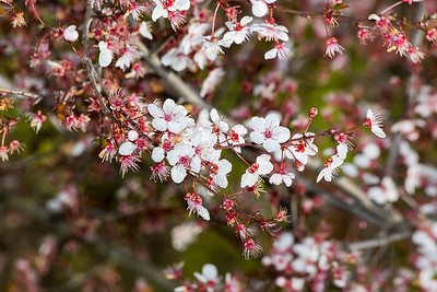 Peach Tree Blossoms. Arroyo Del Valle Trail - Pleasanton, CA, USA