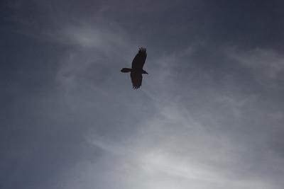 Bird. Soaring.