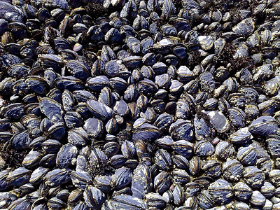 Mussels. Half Moon Bay, CA, USA