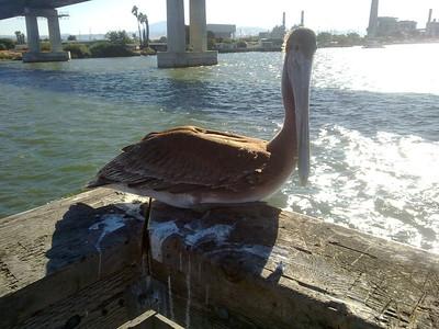 Brown Pelican (Pelecanus occidentalis). Antioch, CA, USA