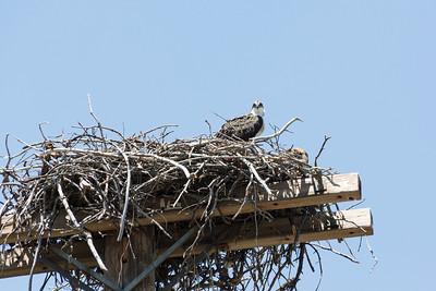 Osprey (Pandion haliaetus). Shasta Dam and Shasta Lake - Shasta Lake, CA, USA