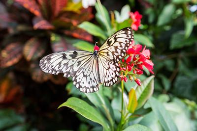 White Tree Nymph (Idea leuconoe). Victoria Butterfly Gardens - Central Saanich, BC, Canada