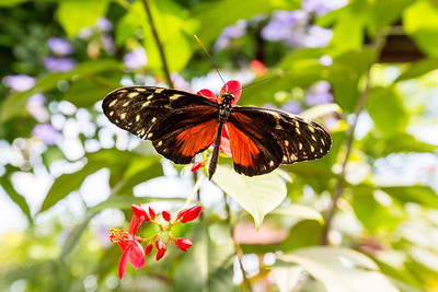 Golden Helicon (Heliconius hecale). Victoria Butterfly Gardens - Central Saanich, BC, Canada