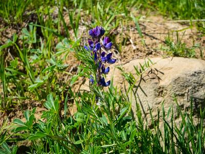 Silver Lupine (Lupinus albifrons). Nortonville Road. Black Diamond Mines Regional Preserve. Antioch, CA, USA