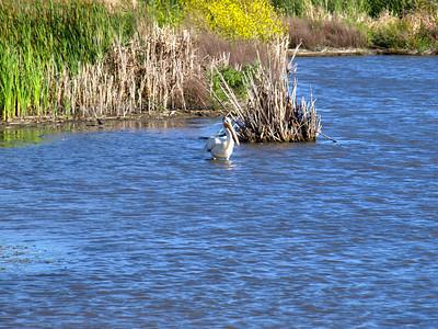 American White Pelican (Pelecanus erythrorhynchos). Coyote Hills Regional Park - Fremont, CA