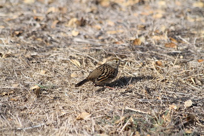 Golden-crowned Sparrow (Zonotrichia atricapilla). Coyote Hills Regional Park - Fremont, CA, USA