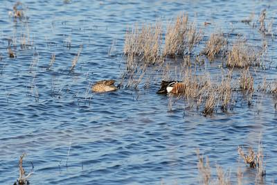 Ducks. Coyote Hills Regional Park - Fremont, CA, USA