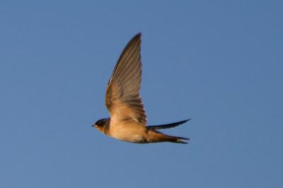 Barn Swallow (Hirundo rustica). Coyote Hills Regional Park - Fremont, CA, USA
