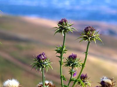 Buckwheat (Eriogonum). Fremont Mission Peak - Fremont, CA, USA