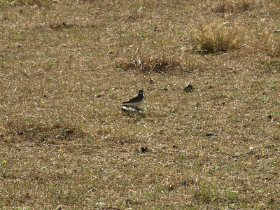 Killdeer (Charadrius vociferus). Fremont Mission Peak - Fremont, CA, USA