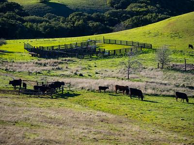 Cows. Volvon Trail. Morgan Territory Regional Preserve - Contra Costa County, CA, USA