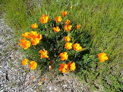 California Poppy (Eschscholzia californica). Quarry Lakes Regional Park - Fremont, CA, USA