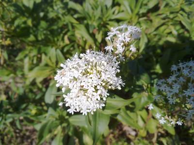 Cow parsnip (Heracleum lanatum). Quarry Lakes Regional Park - Fremont, CA, USA
