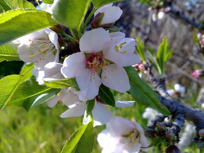 California Saxifrage (Saxifraga californica). Quarry Lakes Regional Park - Fremont, CA, USA