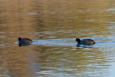 American Coot (Fulica americana). Quarry Lakes Regional Park - Fremont, CA, USA