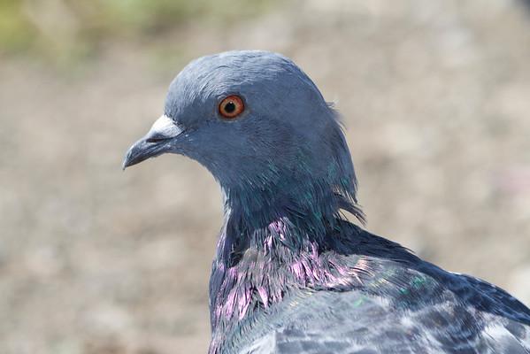 Rock Pigeon (Columba livia). Foster City, CA, USA