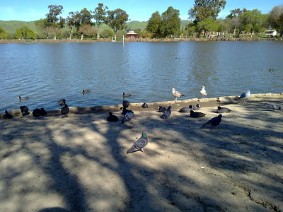 Birds. Lake Elizabeth/Fremont Central Park - Fremont, CA, USA