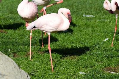 Lesser Flamingo (Phoenicopterus minor). Oakland Zoo - Oakland, CA, USA