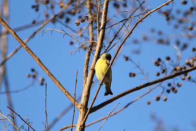 American Goldfinch (Spinus tristis). Arroyo Del Valle Trail - Pleasanton, CA, USA