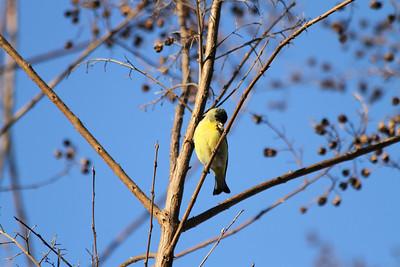 American Goldfinch (Spinus tristis). Arroyo Del Valle Trail - Pleasanton, CA, USA