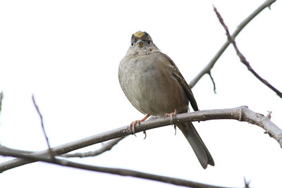 Gold-crowned Sparrow (Zonotrichia atricapilla). Arroyo Del Valle Trail - Pleasanton, CA, USA