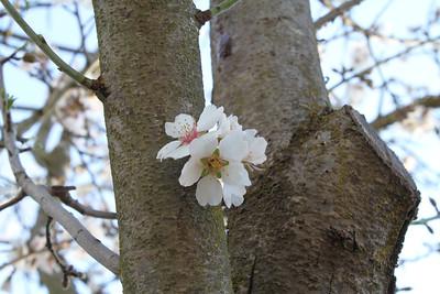 Cherry Blossoms. Arroyo Del Valle Trail - Pleasanton, CA, USA