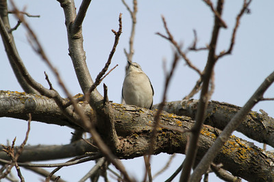 Northern Mockingbird (Mimus polyglottos). Arroyo Del Valle Trail - Pleasanton, CA, USA