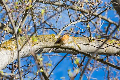 American Robin (Turdus migratorius). Hansen Park - Pleasanton, CA, USA
