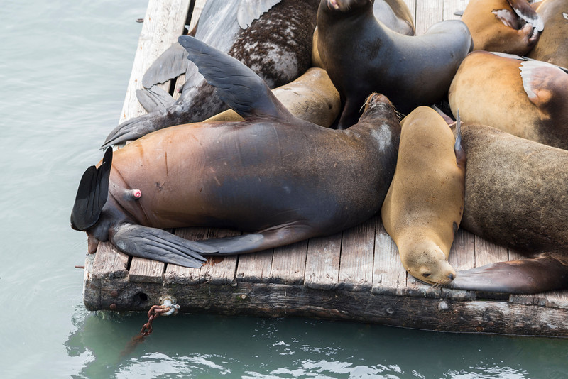 Sea Lions. Pier 39 - San Francisco, CA, USA