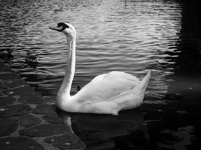 Mute Swan (Cygnus olor). Palace of Fine Arts. San Francisco, CA, USA  Also In Photo: Mallard Ducks (Anas platyrhynchos), turtle.