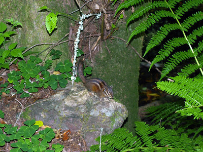 Chipmunk. Muir Woods National Monument - Mill Valley, CA, USA