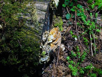 Turkey Tail Mushroom (Trametes versicolor). Muir Woods National Monument - Mill Valley, CA, USA