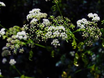 Yarrow (Achillea millefolium). Muir Woods National Monument - Mill Valley, CA, USA