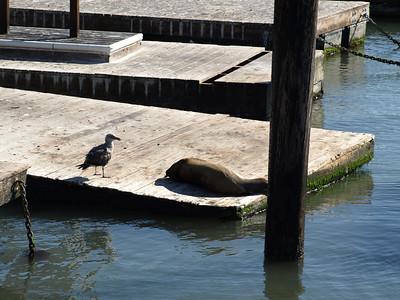 Sea Lions. Pier 39 - San Francisco, CA, USA