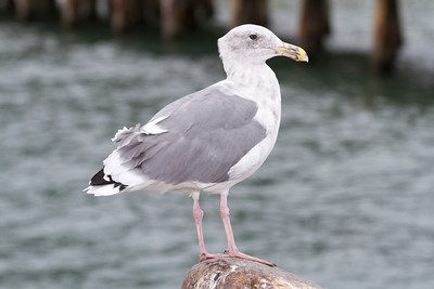 Seagull. Torpedo Wharf - San Francisco, CA, USA