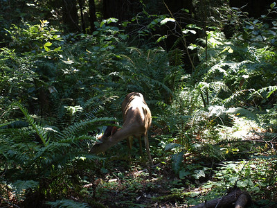 Mule Deer (Odocoileus hemionus). Muir Woods National Monument - Mill Valley, CA, USA