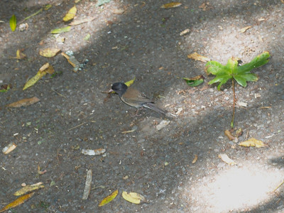 Oregon Junco. Muir Woods National Monument - Mill Valley, CA, USA