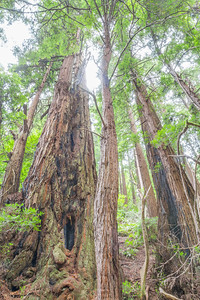 HDR Composition. Coast Redwood (Sequoia sempervirens). Muir Woods National Monument.