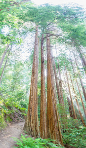 Vertical Panorama. Coast Redwood (Sequoia sempervirens). Muir Woods National Monument.